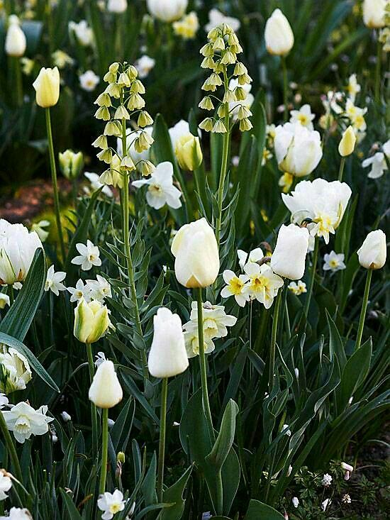 Pin by judith r on judith32ny pinterest allium daffodils and creamy dream ivory bells fritillaria looms over a combination of white lady daffodils and a mix of white tulips including spring gree mightylinksfo