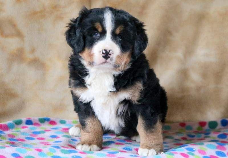 Dallas Health Guaranteed Keystone Puppies Bernesepup Keystonepuppies Puppies Bernese Dog Bernese Mountain Dog