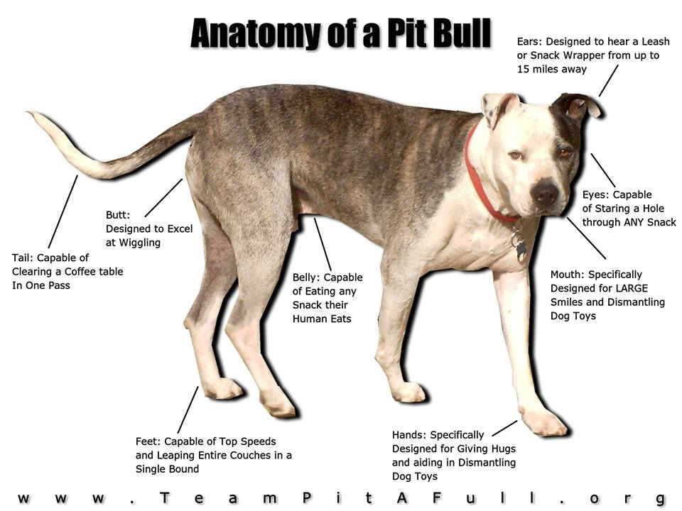 anatomy of a pit bull-just about sums it up. They missed the heart ...