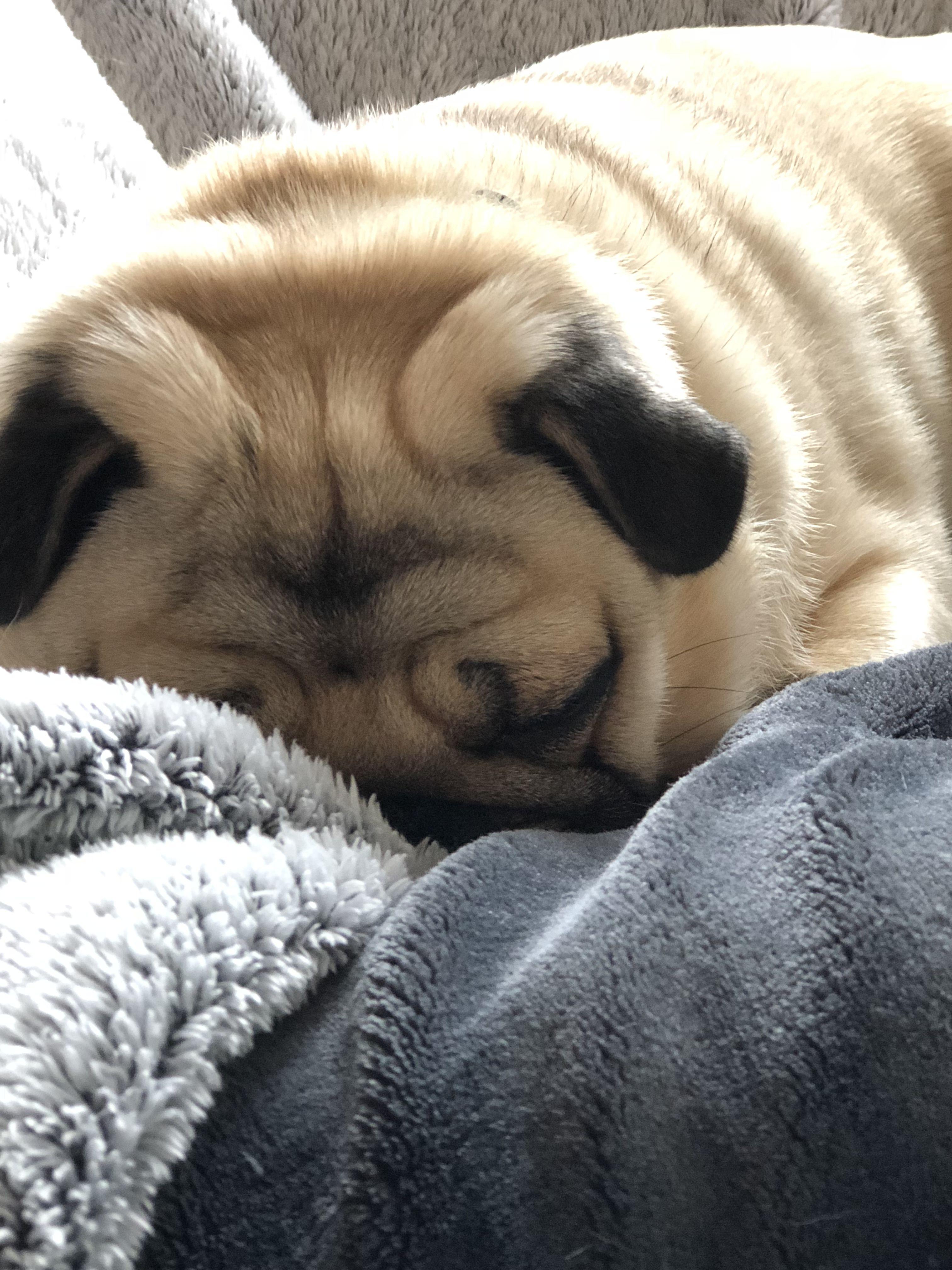 Pug Snuggling Cute Pugs Baby Pugs Pugs