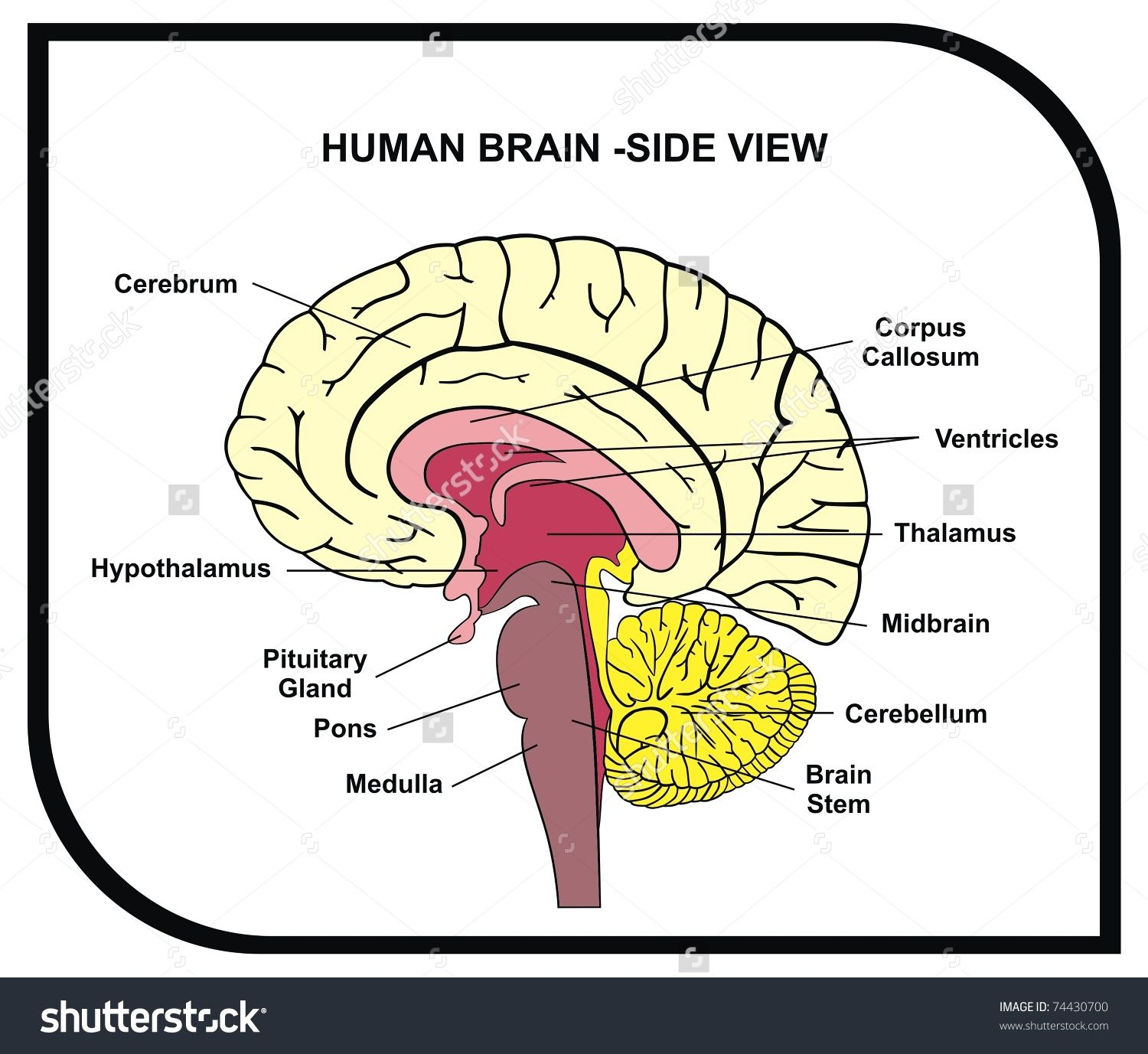 stock-vector-vector-human-brain-diagram-side-view-with-parts ...