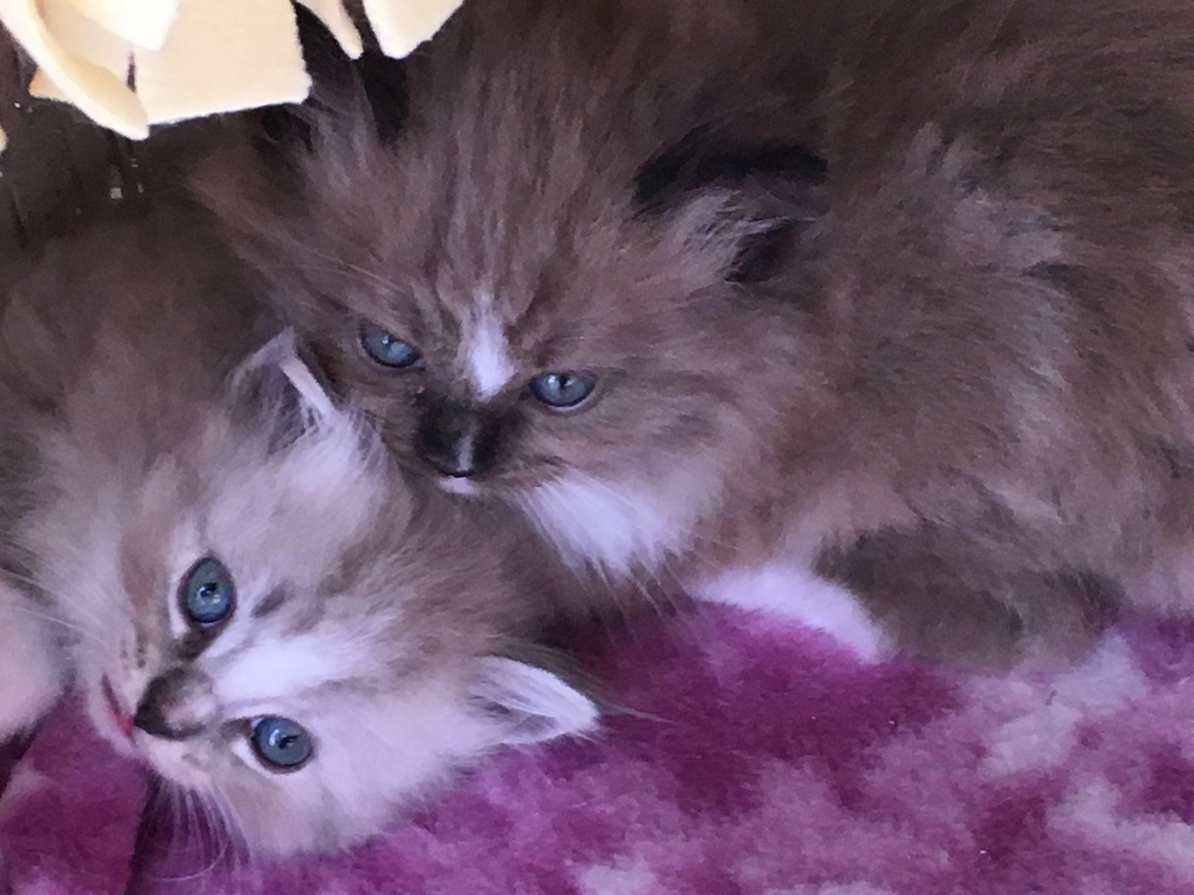 RagaMuffin kittens of Sweetlilpaws RagaMuffins
