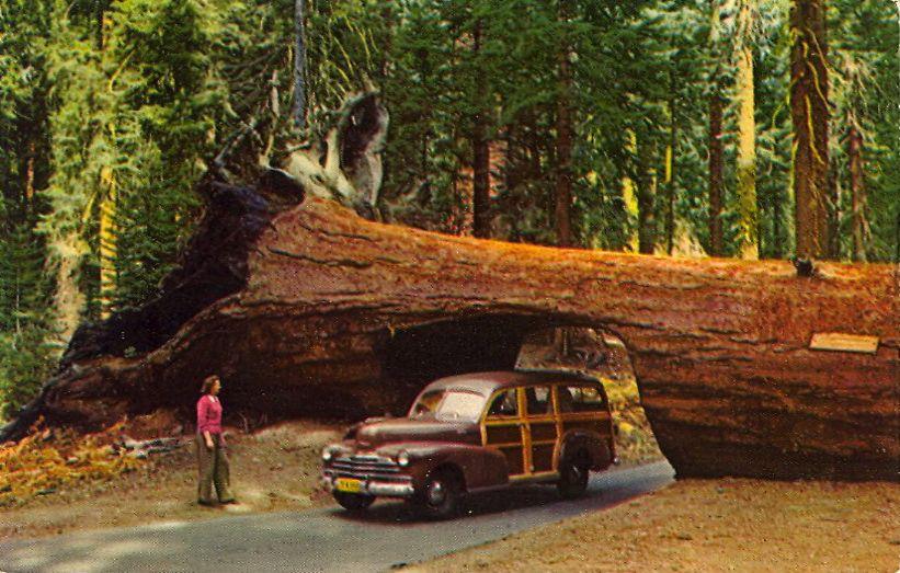 DRIVE THRU TUNNEL TREE Sequoia Park, Calif. This fallen ...