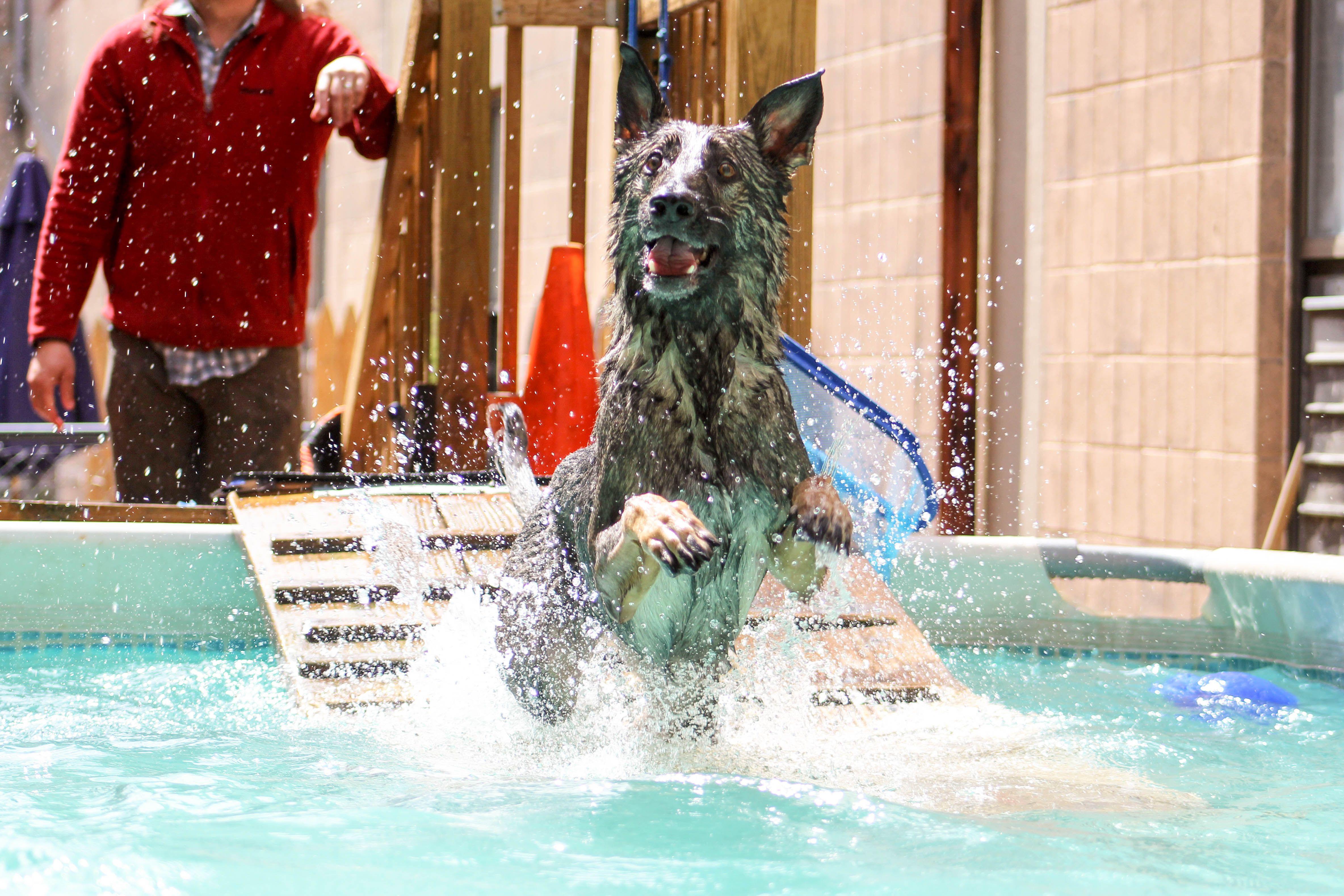 German Shepherd Diving Into The Pool Dog Swimming
