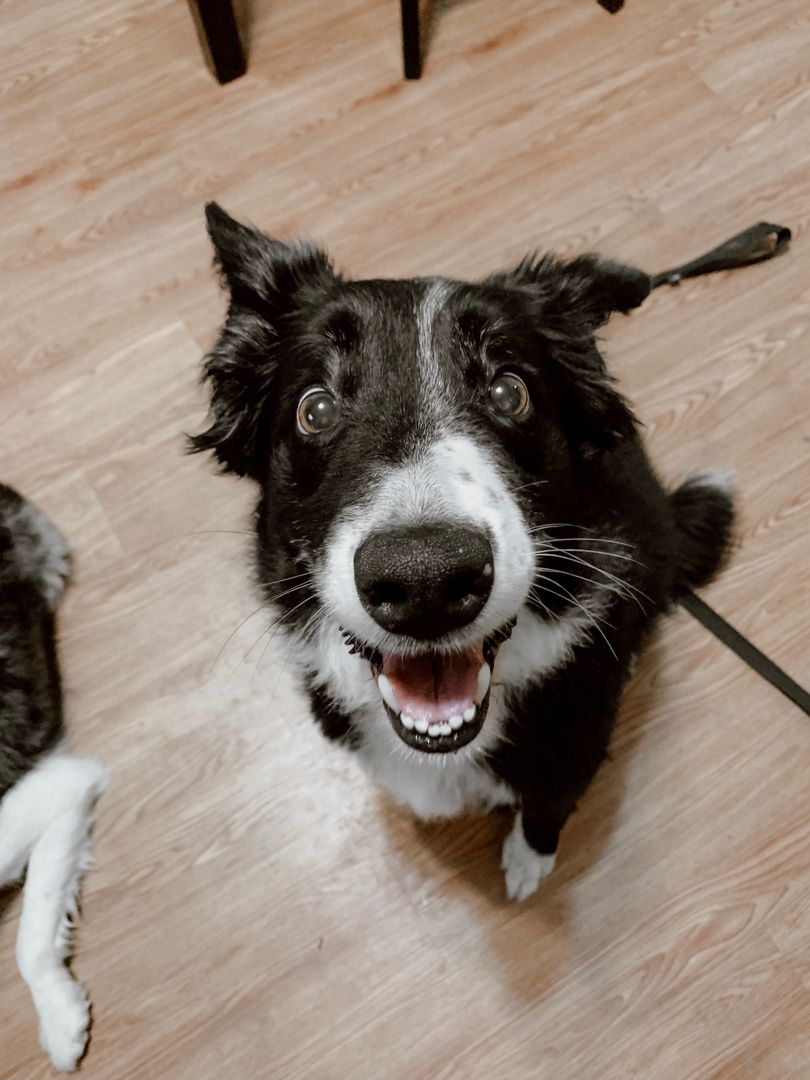 Dogs // Border Collie // DOGS + CO Dog obsessed, Dog