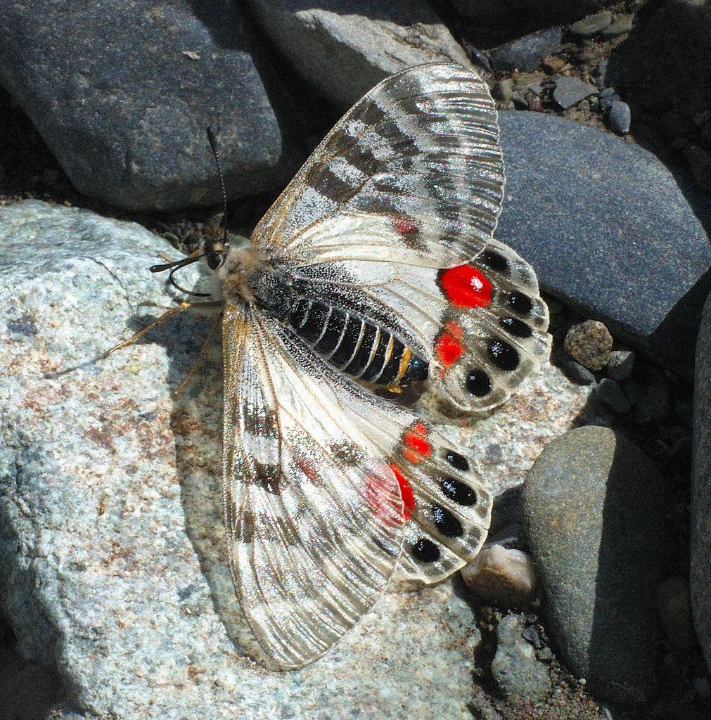 REGAL APOLLO (Parnassius charltonius), (Ladakh), Jammu & Kashmir, India