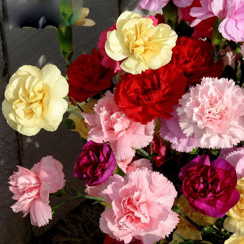 Buy 300 pcs carnation seeds multiple colors free