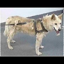 Florida Siberian Husky Rescue Adoptions Rescue Me Adoptable