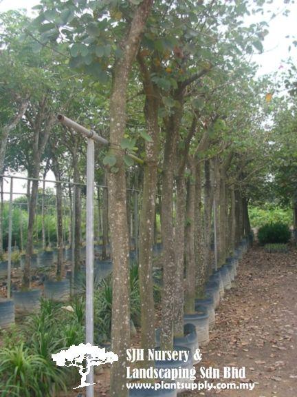 Trees Wholesale Plant Nursery Wholesale Plants Tree