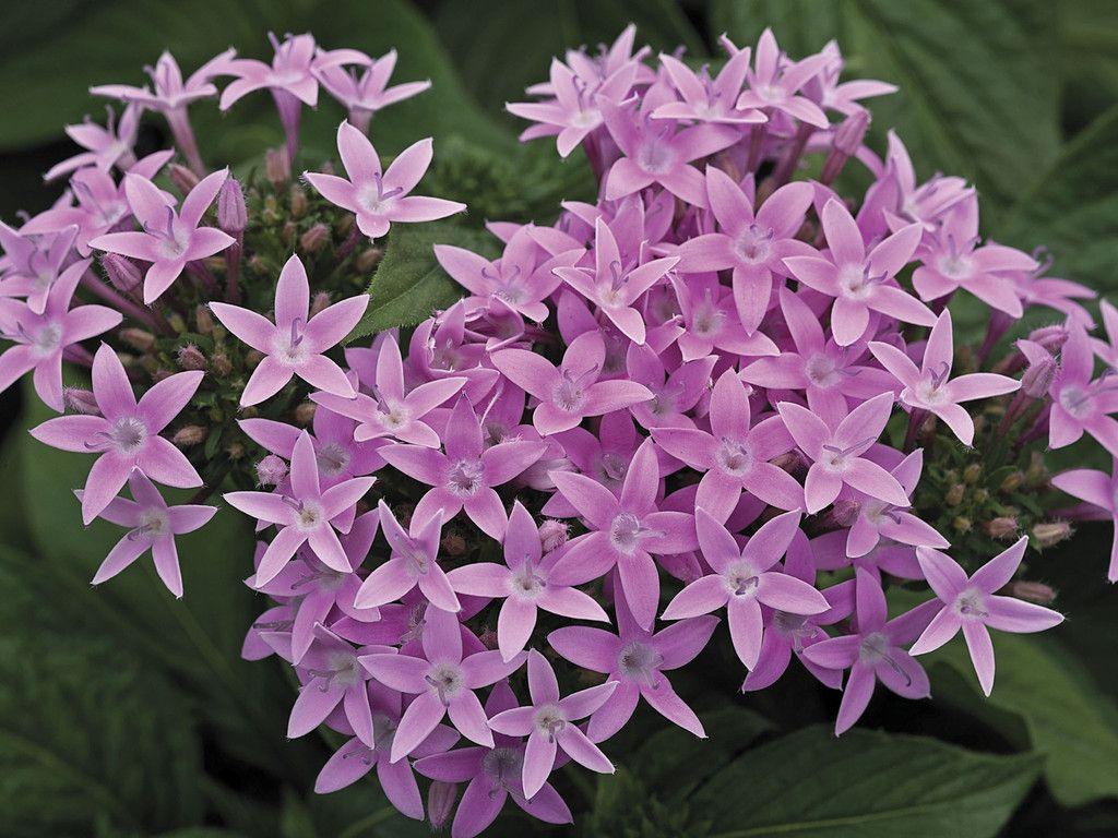 100 bulk seeds pelleted Pentas Starla Lavender Shades