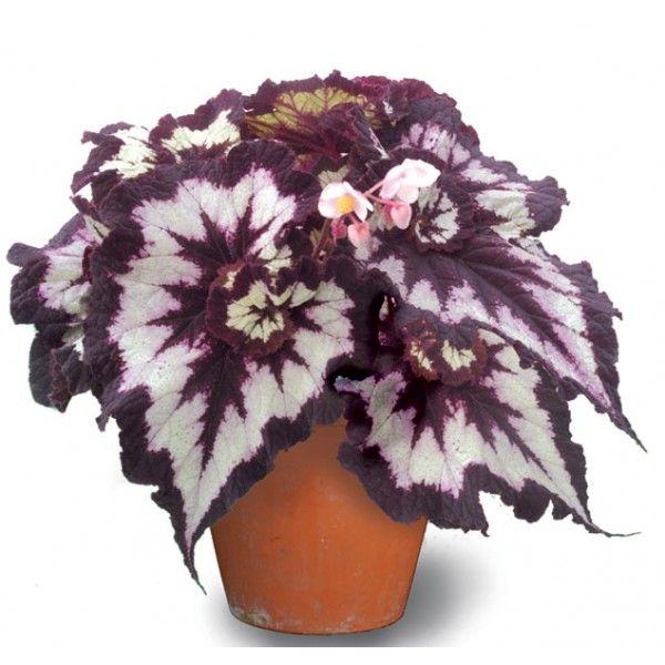 Begonia China Curl Begonia Rex Hybrid Plants Planting Flowers Foliage Plants