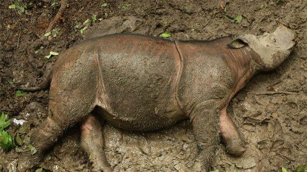 Jeudi 15 juin, Puntung un des derniers rhinocéros de Sumatra en Malaisie sera euthanasié suite à un cancer de la peau. Il ne restera donc plus que deux rhinocéros de Sumatra placés dans des réserves, l'espèce ayant disparu à l'état sauvage dans le pays. La disparition complète de l'espèce pourrait être imminente en sachant qu'en Indonésie on en dénombre moins de 15.  Les rhinocéros indonésiens et malaisiens sont le symbole de la destruction de la biodiversité engagée par les multi...