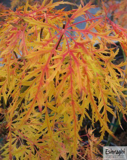 Acer palmatum dissectum 'Waterfall' Laceleaf Japanese Maple