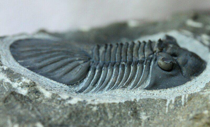 Platyscutellum trilobites had holochroal eyes