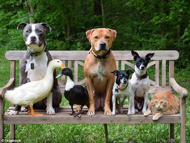 Cute Family The Couple Have Four Dogs A Cat And Two Ducklings Among Their Group Of Pets Animals Friendship Animals Dogs