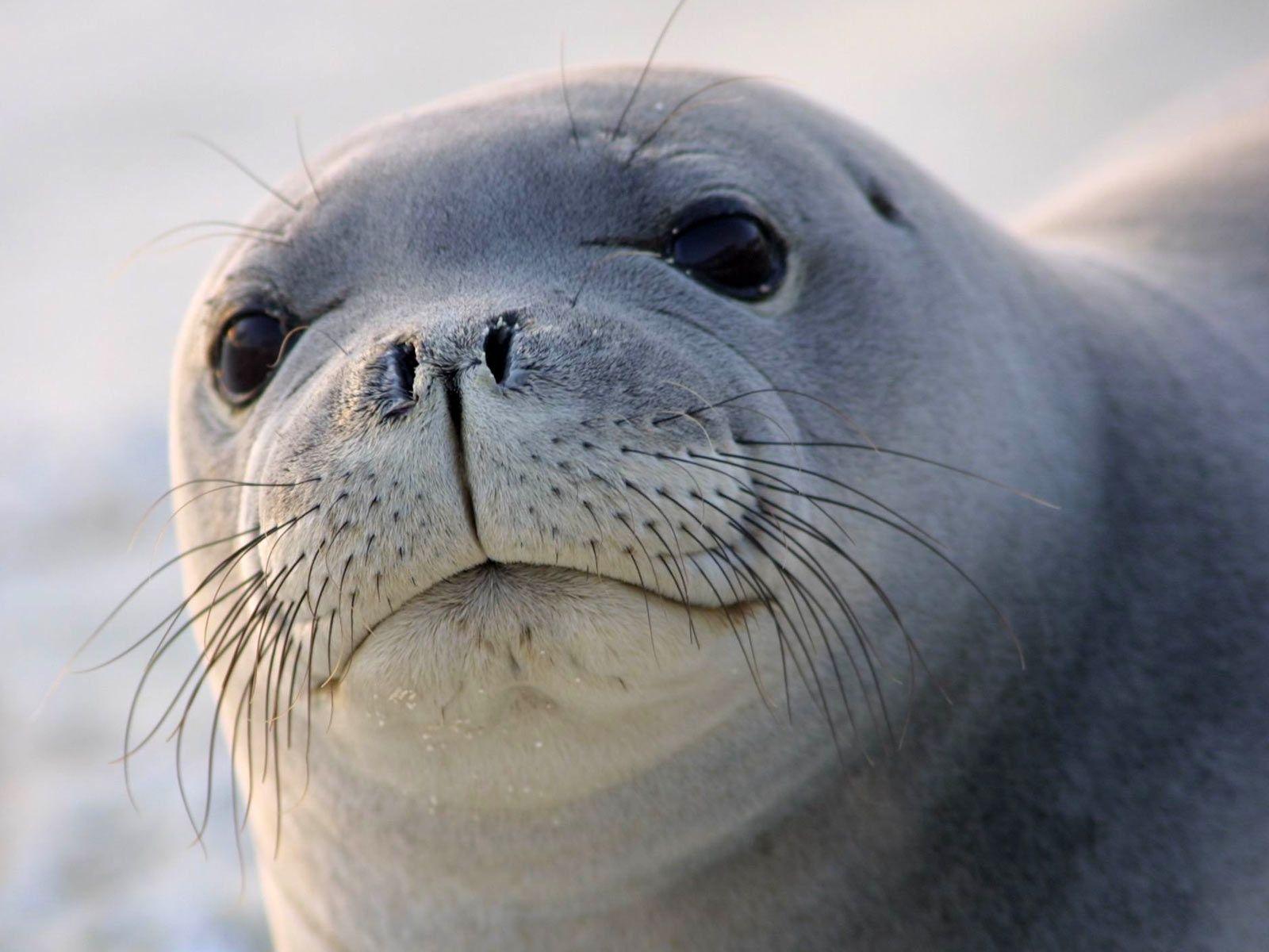 Foca Mirando Hawaiian Monk Seal Monk Seal Animals