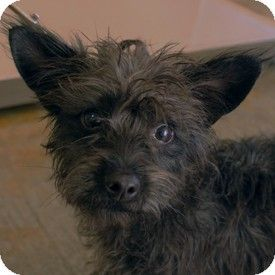 Walnut Creek Ca Cairn Terrier Mix Meet Bernaise A Dog For