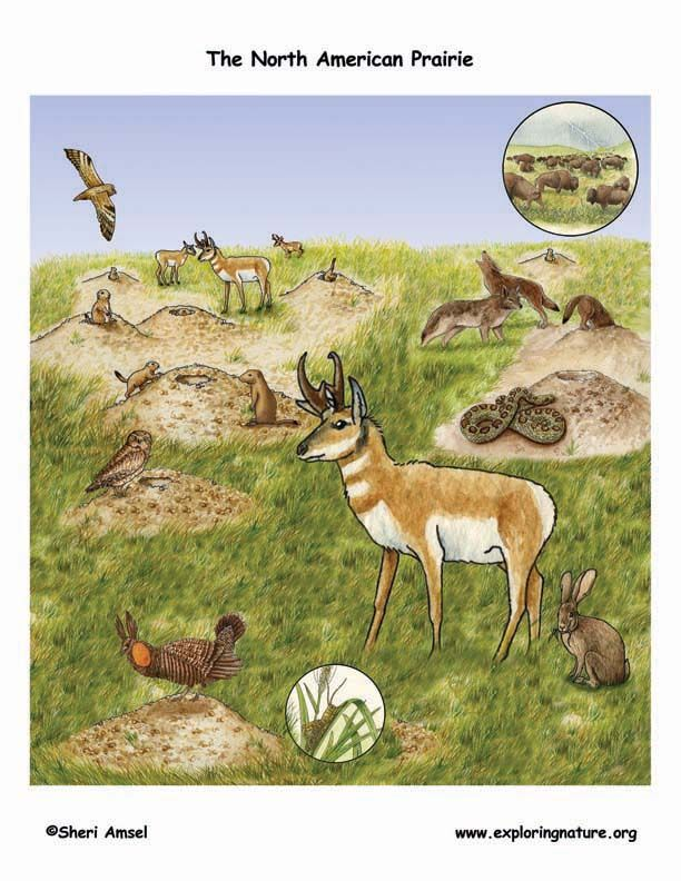 Prairie grassland biome animals