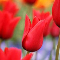 Tulipa Red Shine Tulip Red Shine Lily Flowered Tulip Red Shine Lily Flowering Tulip Red Shine Lily Flowered T Tulips Amazing Flowers Pink Lily Flower