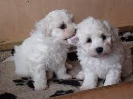 Gorgeous Bichon Puppies Manchester Greater Manchester