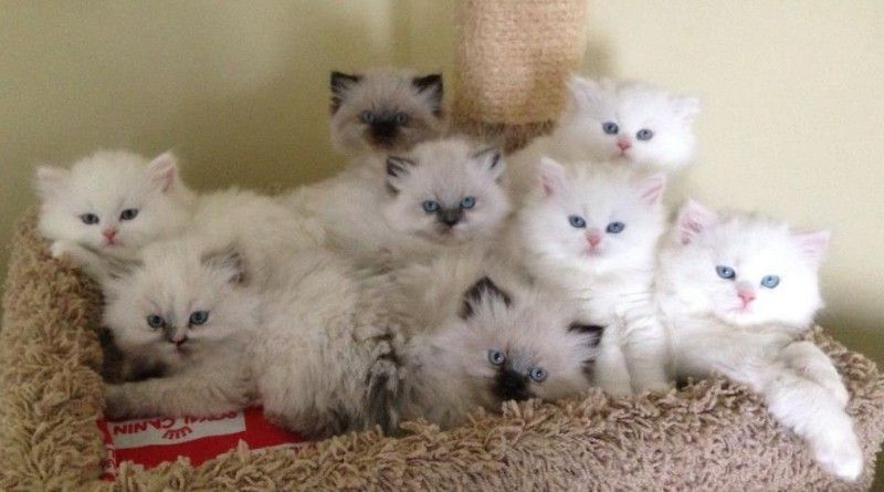 Cat Facts And Information About Himalayan Indian Cat Breed Himalayan Kitten Himalayan Cat Cat Breeds