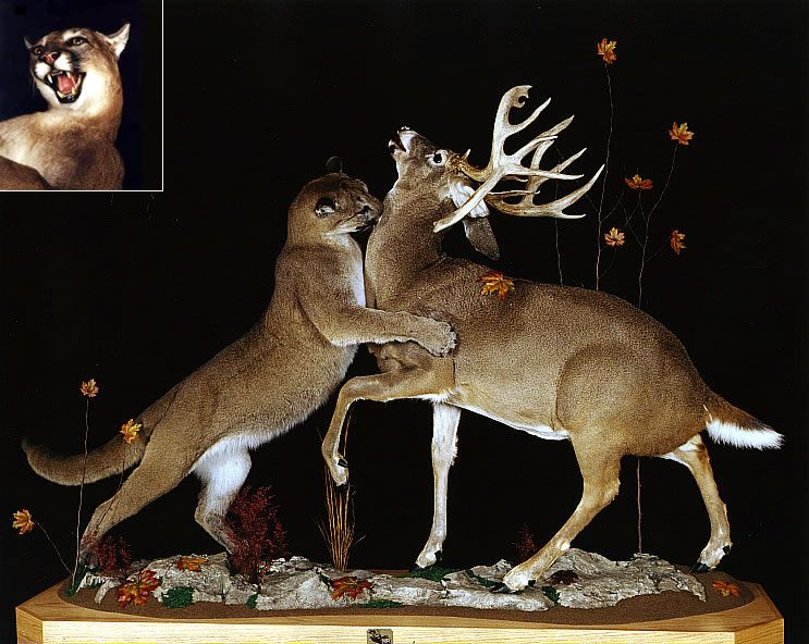 Fighting Buck Mounts Google Search Awesome Deer Mounts