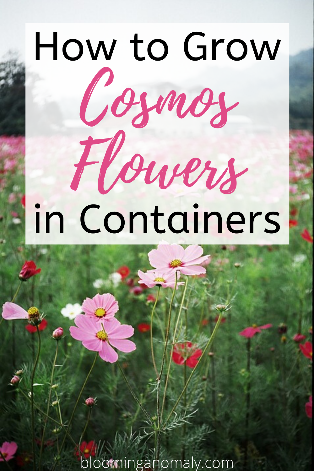How To Grow Cosmos Flowers In Containers In 2020 Cosmos Flowers Cosmos Flowers Garden Container Flowers