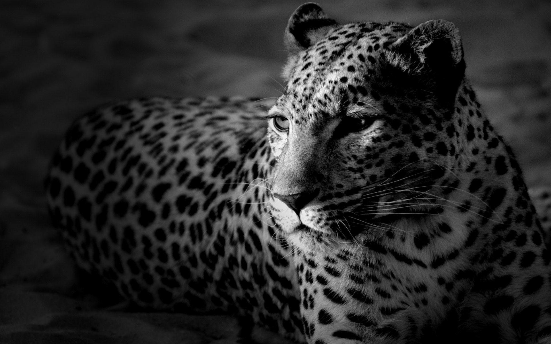 Tiger Black And White HD Wallpaper