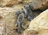 A Pouncing Pair of Snow Leopard Cubs  - ZooBorns