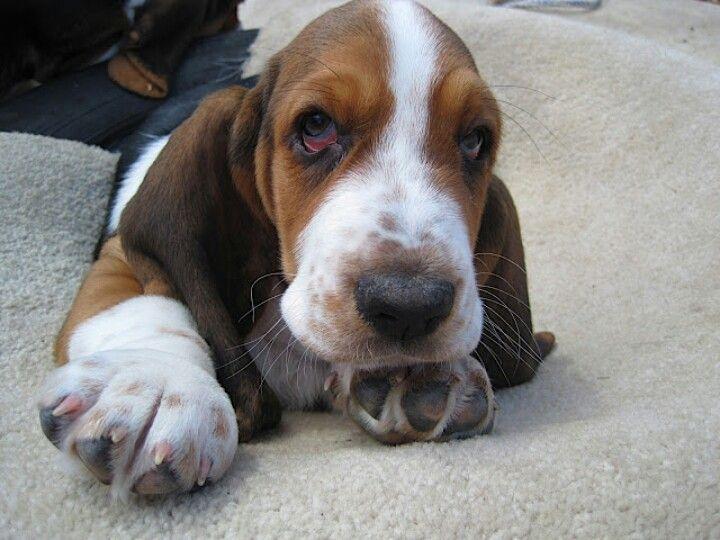 Baby Basset Feet Basset Hound Bassett Hound Hound Dog