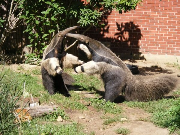 What Do Jaguars Eat >> #11 Giant Anteater He may look like he wants a hug, but he's more likely to disembowel you with ...
