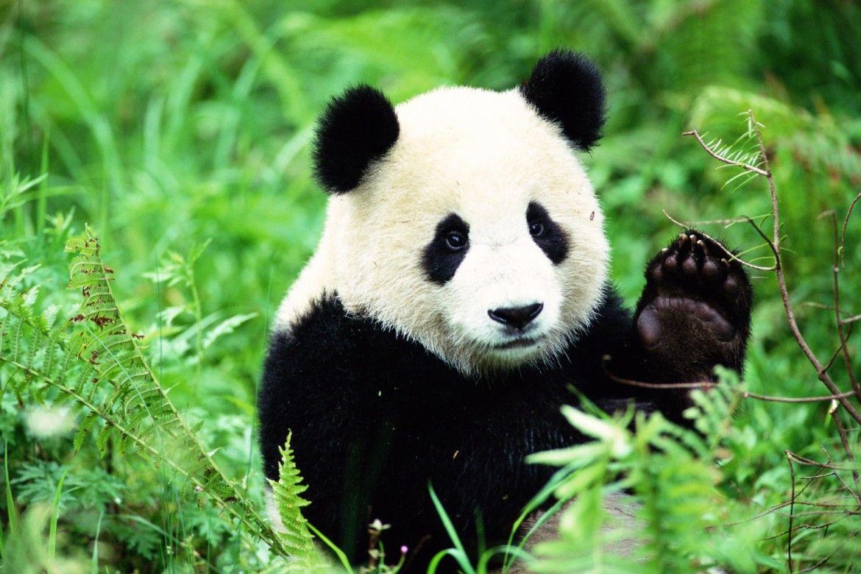 صور الباندا معلومات وصور عن دب الباندا الباندا هو من عائلة الدببة وهو يعرف بالدب الصيني وموطنه الاصلي جنوب ووسط جنوب الصين وي Panda Facts Panda Giant Panda