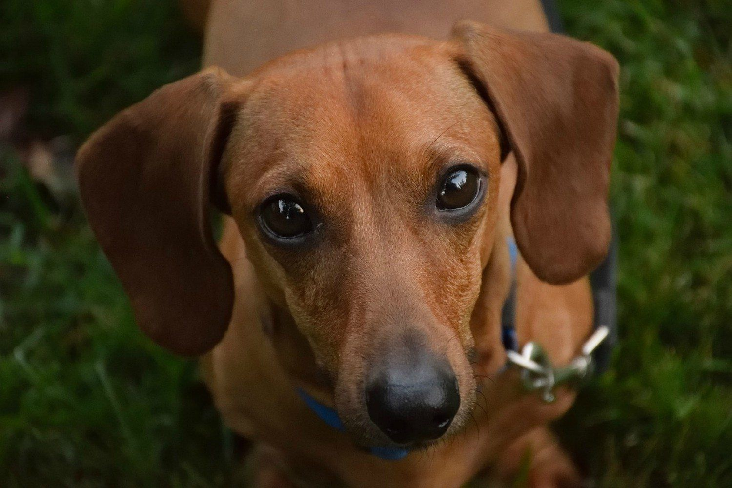 Attention Wiener Dog Fans There S Now A Museum Dedicated Entirely To Dachshunds Wiener Dog Cute Puppy Wallpaper Dachshund Dog