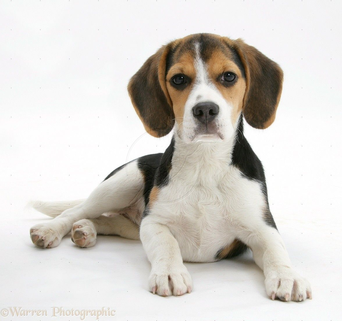 Country Of Origin The Beagle Originated In England Height