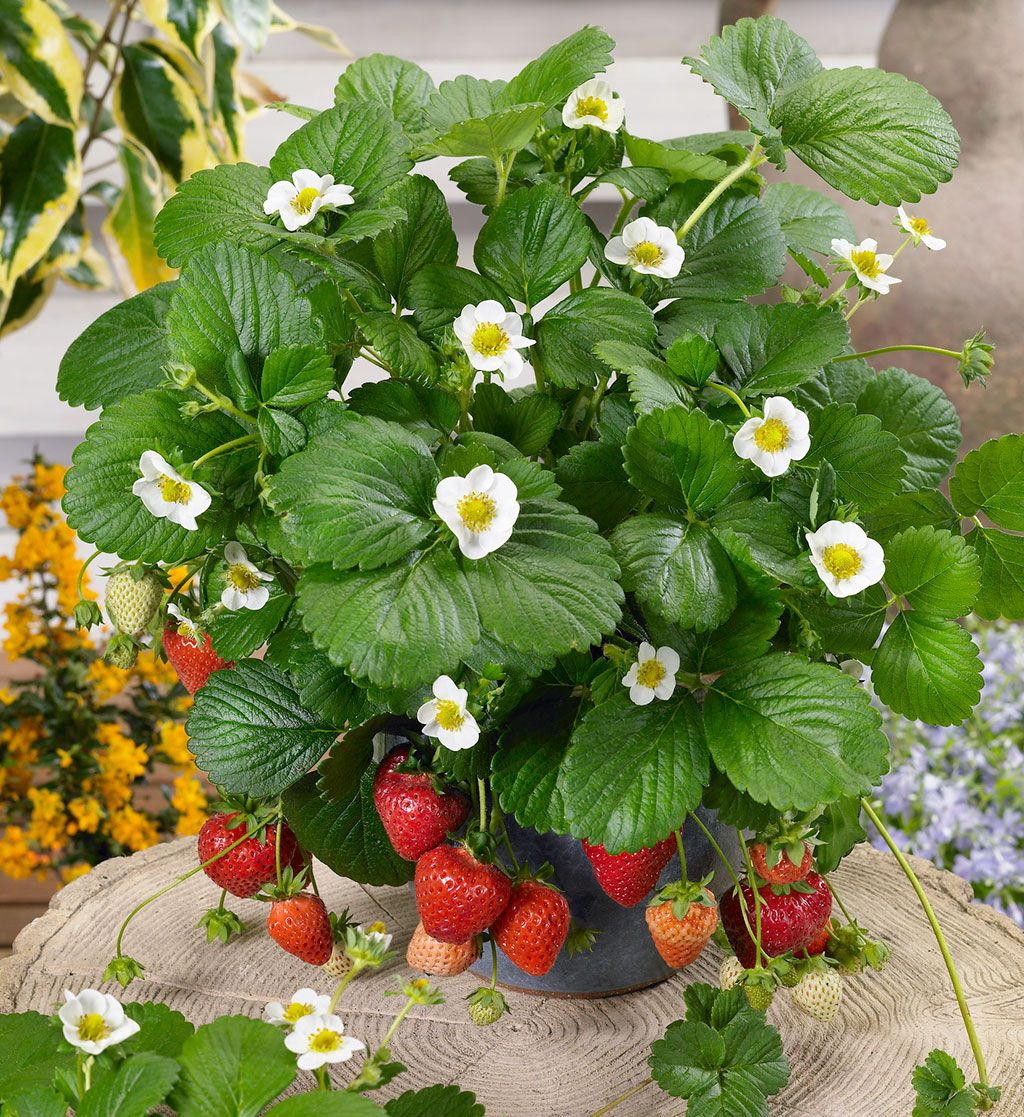 Loran Strawberries (just planted this variety in a container on my ...