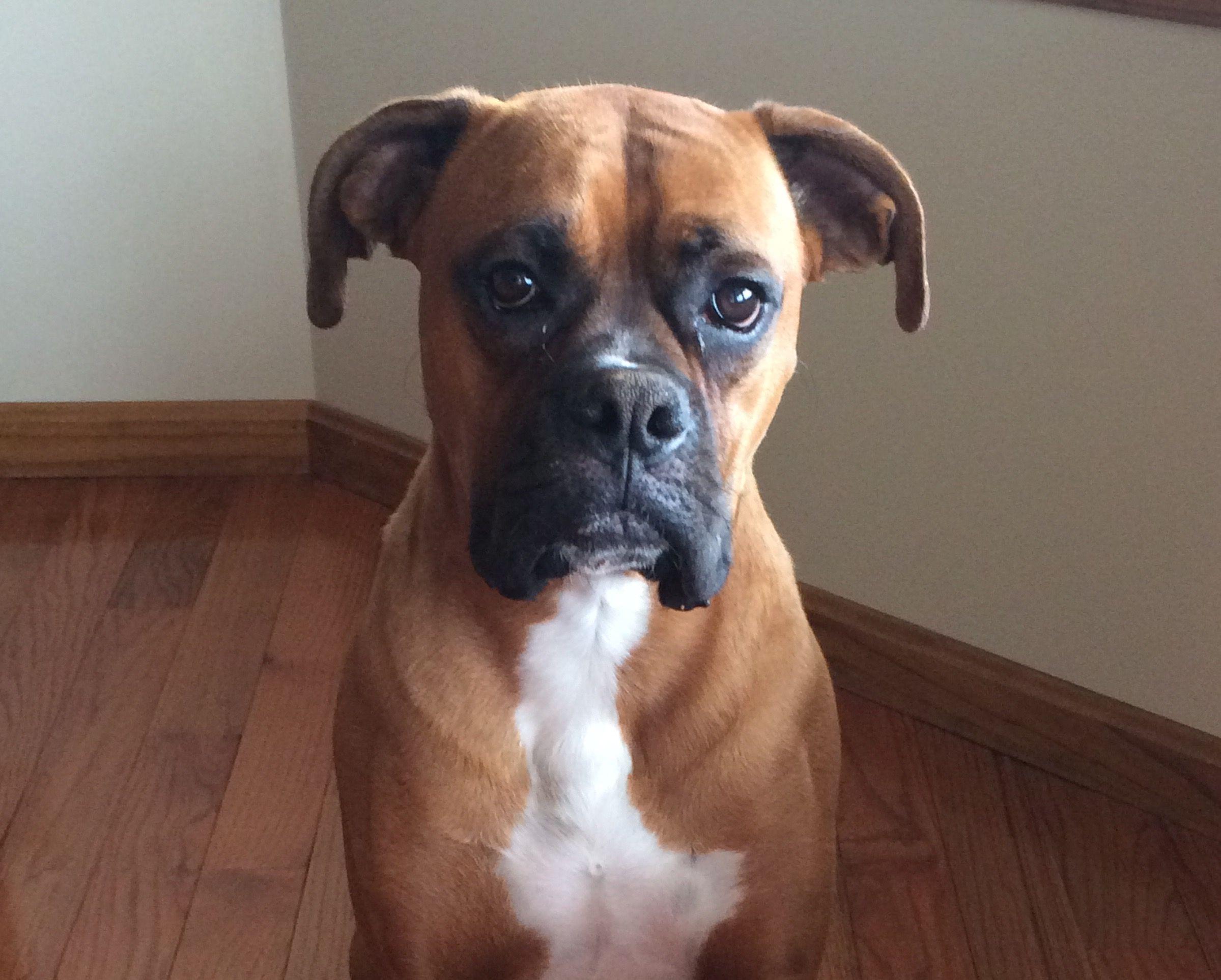 Angus selfie! Boxer dogs, Boxer love, Animals