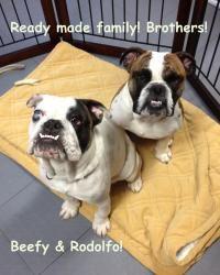 Adopt Repo On Bulldog Rescue Dogs Adoption