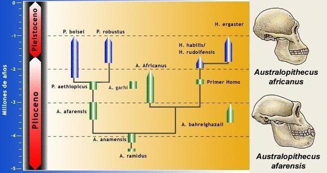 Arbol Genealogico Hominidos Buscar Con Google Hominidos Historiografía Diferentes Tipos De