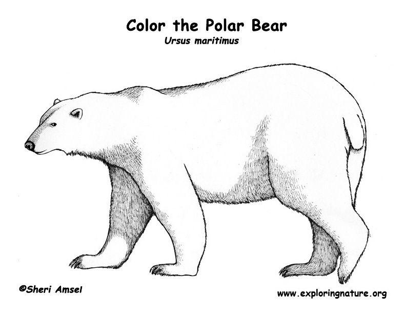 Polar Bear Coloring Page Exploring