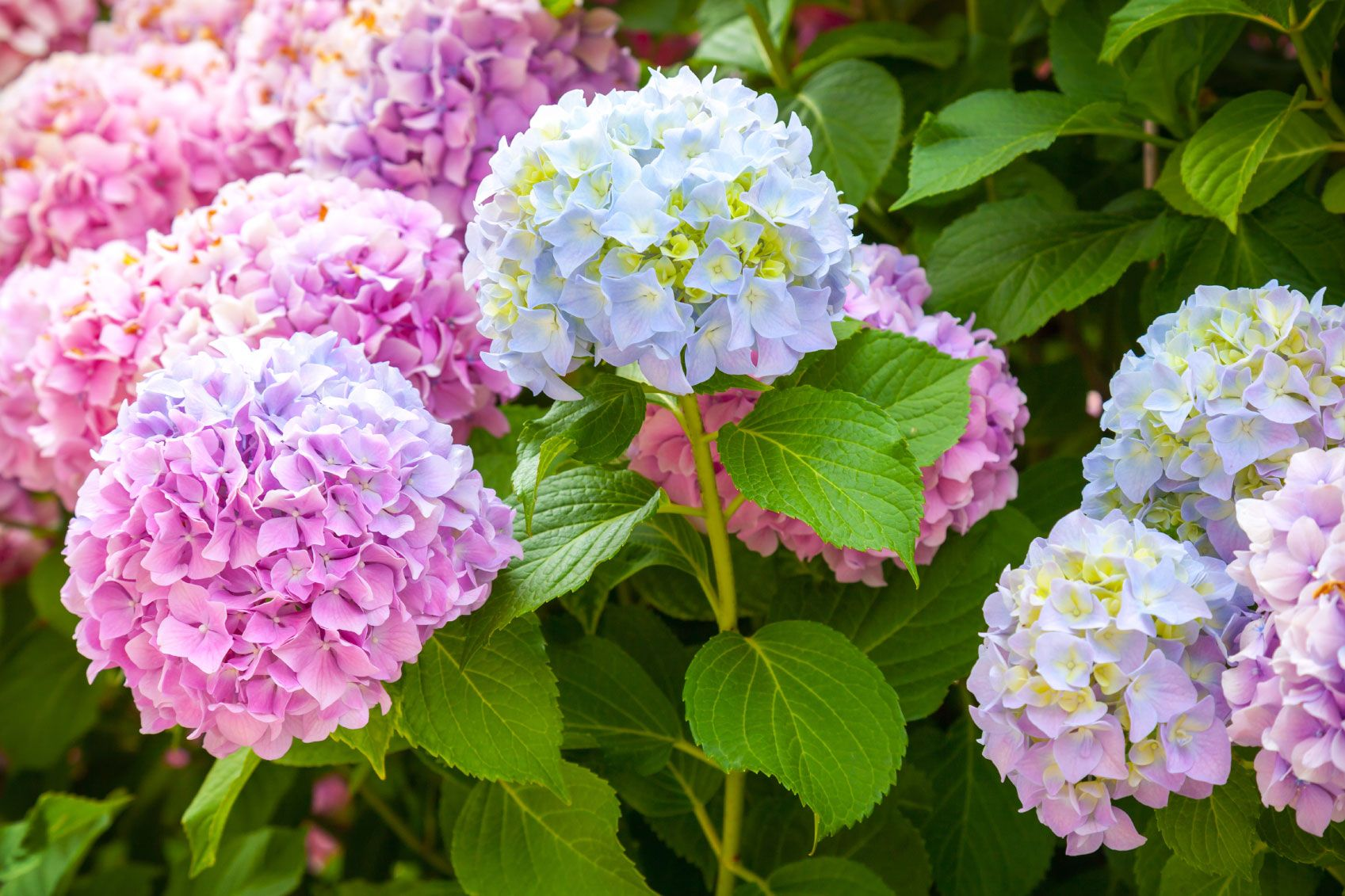 Hydrangea Color How Do I Change The Color Of A Hydrangea Hydrangea Care Hydrangea Colors Hydrangea Not Blooming