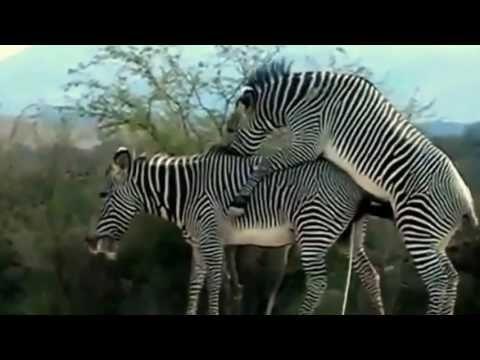 Zebra Mating Animals Mating The Best Travel Pins Animals
