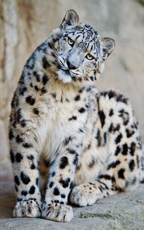 Snow leopard:*