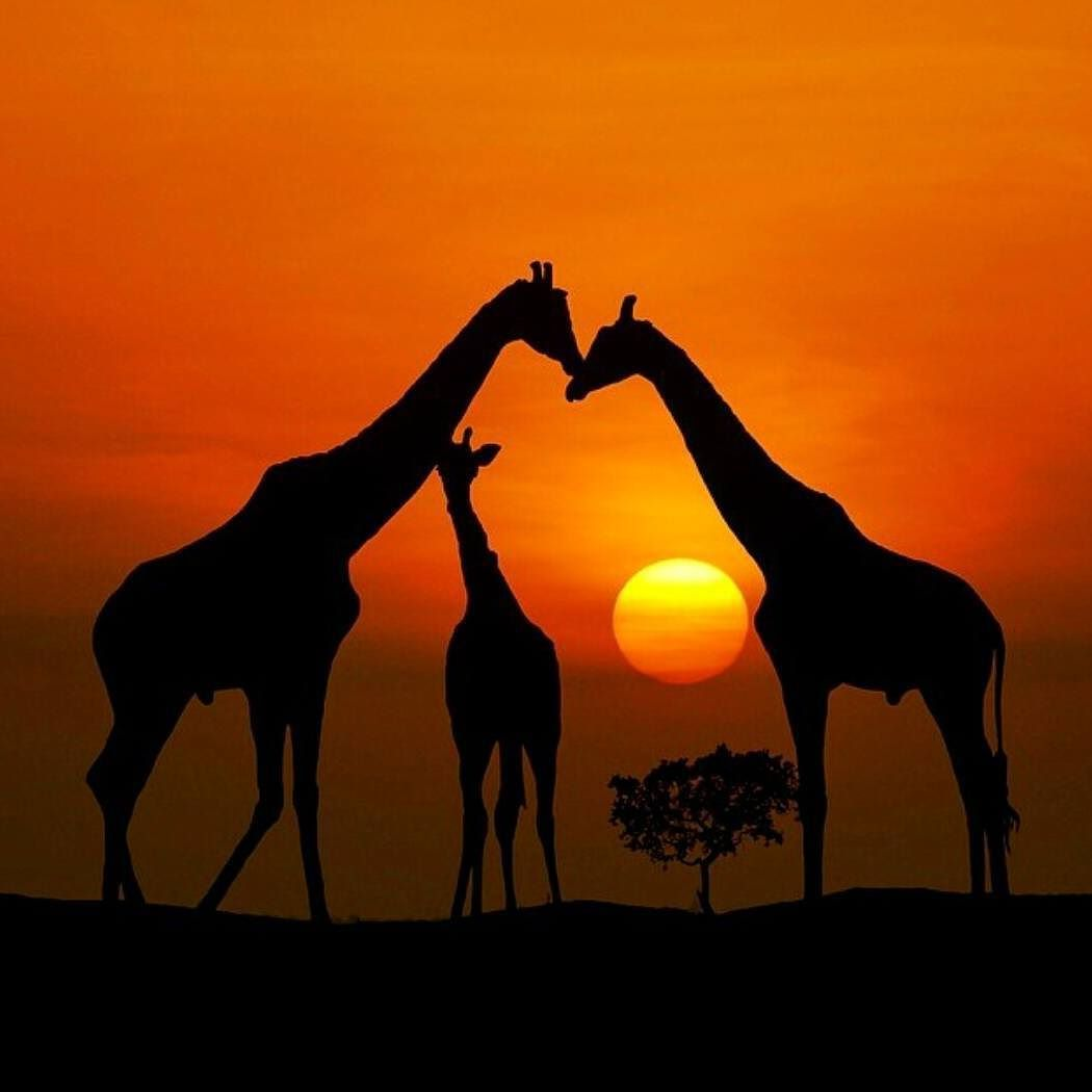 Giraffes Silhouettes At Sunset Art T Giraffe