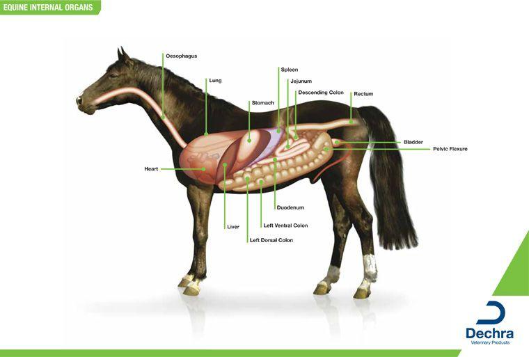 Diagram of horse anatomy