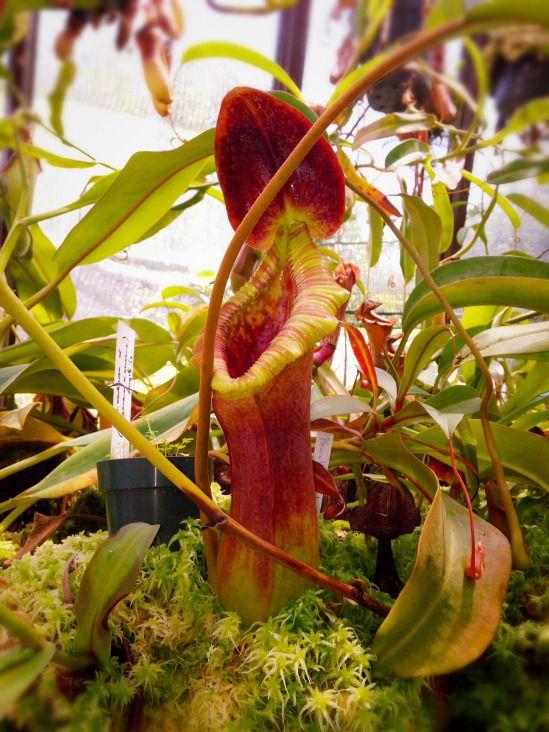Lieblings Trusmadiensis | Fleischfressende Pflanzen,Killerpflanzen #IO_82