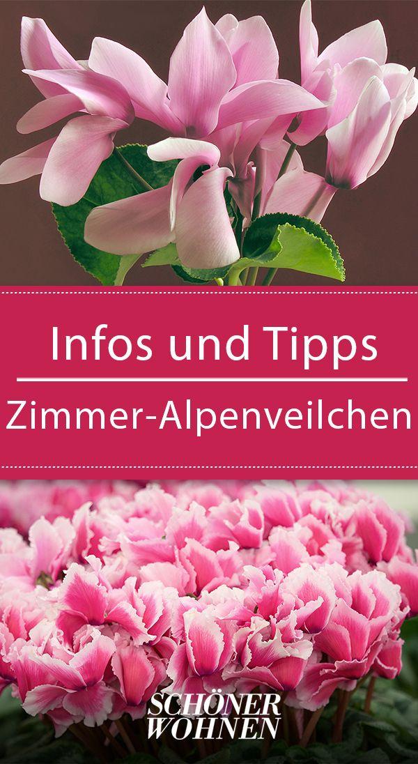 zimmer alpenveilchen pflegen gie en alpenveilchen veilchen und pflanzen