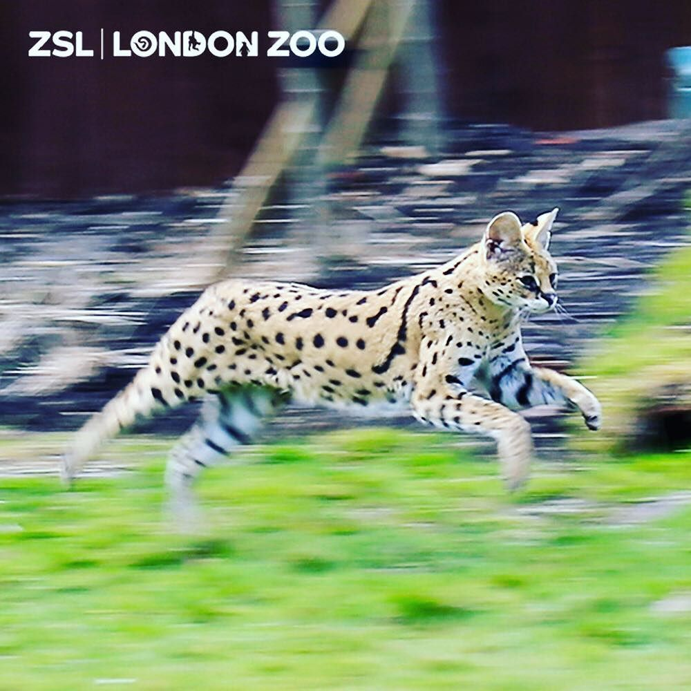 Want to see our beautiful #serval Xena in action? Add us on Snapchat with the username zsllondonzoo! #wildlife #londonzoo #animalsofinstagram by zsllondonzoo
