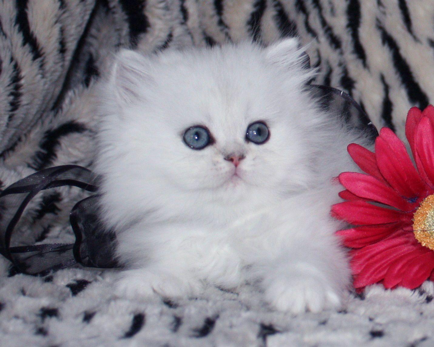 Miao! Miao! Miao! 44 Super Cute White Kitten, enjoy