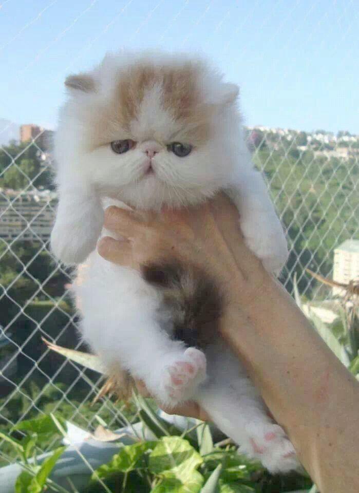 Cute Ragdoll Kittens For Sale In Colorado all Cute Animals