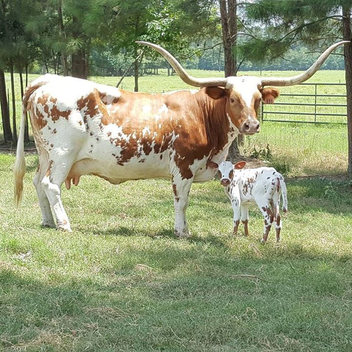 Beautiful Longhorn Mother With Her New Calf Longhorn Cattle